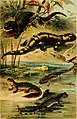 Deutschlands Amphibien und Reptilien. Eine Beschreibung und Schilderung sämmtlicher in Deutschland und den angrenzenden Gebietan vrokommenden Lurche und Kreichthiere (1897) (20700568118).jpg