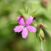 Dianthus armeria 8935.jpg