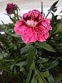 Dianthus caryophyllus - Γαρυφαλλιά.jpg