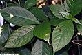 Dichorisandra thyrsifolia 1zz.jpg