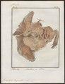 Dicotyles torquatus - ingewanden - 1700-1880 - Print - Iconographia Zoologica - Special Collections University of Amsterdam - UBA01 IZ21900227.tif