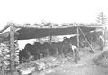 Die Maultiere werden in ihrem Stall gefüttert - CH-BAR - 3239846.tif