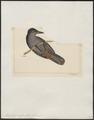 Diglossa major - 1820-1860 - Print - Iconographia Zoologica - Special Collections University of Amsterdam - UBA01 IZ19000403.tif