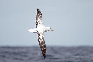Gibson's albatross - In flight off south-eastern Tasmania
