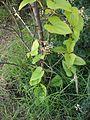Dioscorea Japonica (Yamaimo) 3.JPG