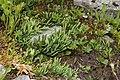 Diphasiastrum alpinum plant (07).jpg