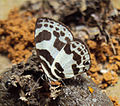 Discolampa ethion – Banded Blue Pierrot 06.JPG