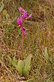 Dodecatheon conjugens 3605.JPG