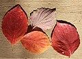 Dogwood Cornus florida fall leaves close.jpg