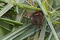 Dolomedes plantarius, great raft spider or fen raft spider, Grote oeverspin 03.jpg