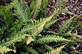 Doodia australis in Auckland Botanic Gardens.jpg