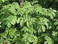 Doré (Solanum tuberosum).jpg