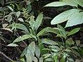 Dracaena terniflora (8286185735).jpg