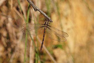 <i>Austrocordulia refracta</i> Species of dragonfly