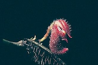 Dresslerella archilae - Image: Dresslerella archilae