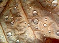 Drops on a leaf - Flickr - Stiller Beobachter.jpg