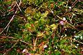 Drosera rotundifolia (5840411254).jpg