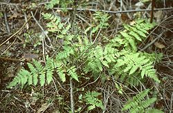 definition of dryopteridaceae
