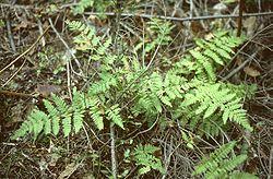 Dryopteris carthusiana.jpg