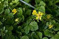 Duchesnea chrysantha 01.jpg