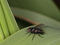 Dufouria? (Diptera- Tachinidae) (8073718872).jpg