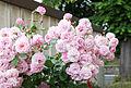 Duftrosen-Flowerpower (18634403373).jpg