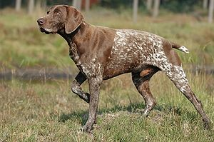 German Shorthaired Pointer - Image: Duitse staande korthaar 10 10 2