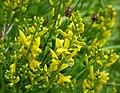 Dyer's Greenweed. Genista tinctoria (49208501383).jpg