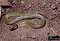 E. typhlus (juvenile).jpg