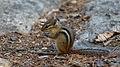 Eastern Chipmunk (Tamias striatus) - Algonquin Provincial Park, Ontario.jpg