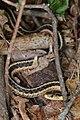 Eastern Garter Snake (Thamnophis sirtalis sirtalis) - Kitchener, Ontario 02.jpg