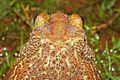 Eastern Giant Toad (Peltophryne peltocephala) (8575065052).jpg