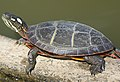 Eastern Painted Turtle (Chrysemys picta picta) (49866261538) (cropped).jpg