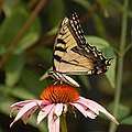 Eastern Tiger Swallowtail Papilio glaucus Flower 1800px.jpg