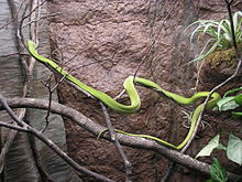 A bright green snake in a tree branch in a terrarium-like enclosure