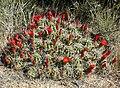 Echinocereus triglochidiatus 13.jpg
