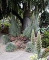 Echium in Huntington Desert Garden.jpg