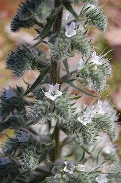 Resultado de imagen de Echium italicum