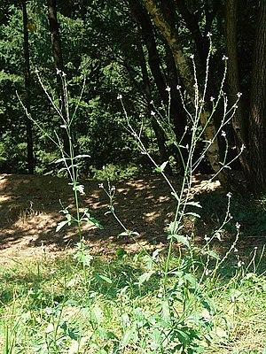 Verbena officinalis - Flowering plant