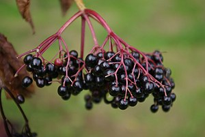 English: Elderberries Ripe elderberries growin...