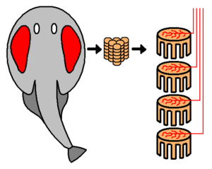 Electric organ (biology) - An electric ray (torpedo) showing location of electric organ and electrocytes stacked within it.