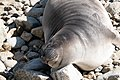 Elephant Seal (immature) Chimney Rock Pt Reyes Marin CA 2019-03-11 11-31-34 (48265049931).jpg