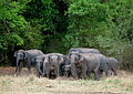 Elephants are extremely protective of their young. At the sight of our jeep, adults surround the infants. Around 175 jee - Flickr - Al Jazeera English.jpg