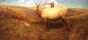 Bell Museum of Natural History - Elk diorama, set at Inspiration Peak northwest of Alexandria, Minnesota