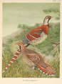 Elliot's Pheasant by Louis Agassiz Fuertes.png