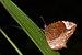 Elymnias caudata in Kadavoor.jpg