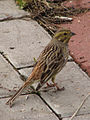 Emberiza citrinella in Pushchino 9.jpg