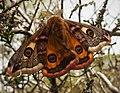 Emperor Moth. (Saturnia pavonia) male. (32742692567).jpg
