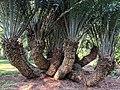 Encephalartos Natalensis, Limbe Botanic garden.jpg