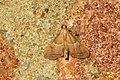 Endotricha flammealis (BG) (15579755501).jpg